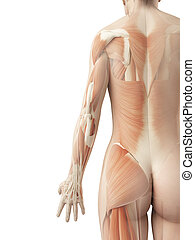 A females back muscles - 3d illustration of the females back...