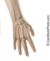 hand anatomy - bones of hand and fingers - 3d illustration...
