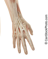 Anatomy of the hand - 3d illustration of the anatomy of the...