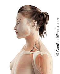 Muscles of the neck - 3d illustration of the muscles of the...