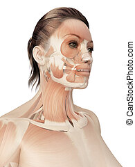 Muscles of the face - 3d illustration of the muscles of the...