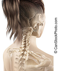 Female cervical spine - 3d illustration of the female...