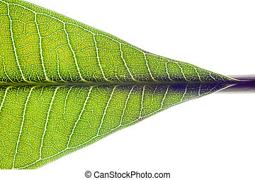 Part of green leaf on white background