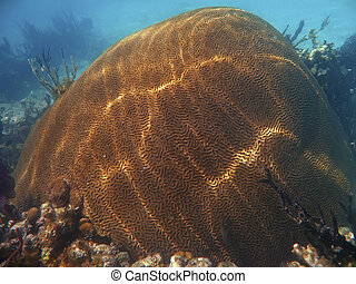 Brain coral off the Galapagos Islands