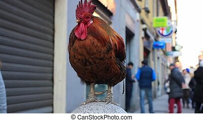 Old rooster in the street