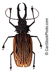 Unidentified Stag Beetle - An unknown stag beetle isolated...