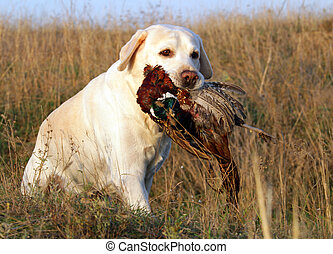 portrait of yellow labrador with pheasant - portrait of...