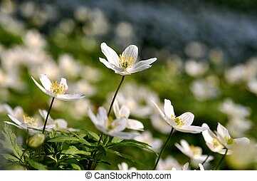 Wood anemone - Field of wood anemone in spring