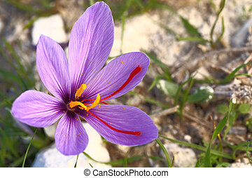 Saffron flower on the field
