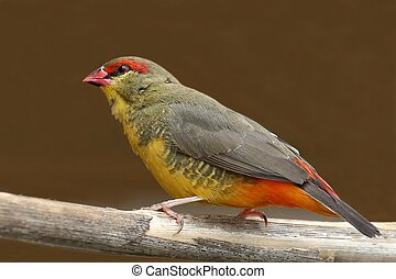 Orange-Breasted Waxbill Bird - Small and beautiful...