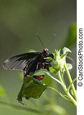 Common Rose Butterfly - Common Rose butterfly showing its...
