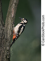 Great-spotted woodpecker, Dendrocopos major, single bird on...