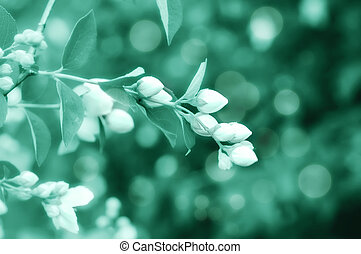 Jasmine flower growing on the bush in garden, cyan toning