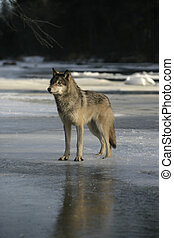 Grey wolf, Canis lupus,single mammal on snow,...