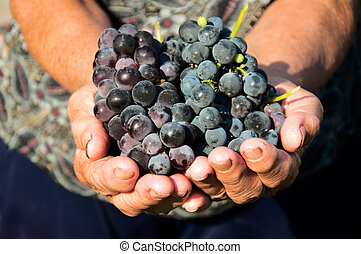 Grapes in hands - Old female holding in her hands organic...