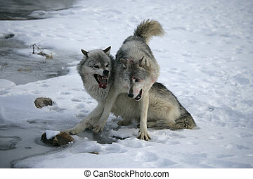 Grey wolf, Canis lupus, two fighting on snow...