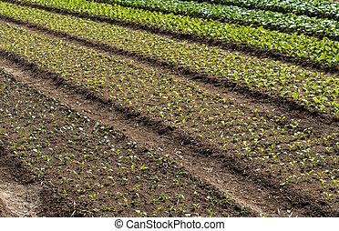 Vegetable garden - Fertile, arable farmland on Lamma Island...
