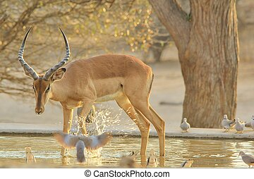 Impala, African Wildlife Background - An Impala ram drinks...