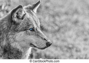 norte, norteamericano, gris, lobo, con, azul, ojos