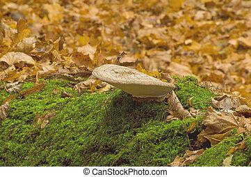 Mushroom tinder fungus Ganoderma lipsiense
