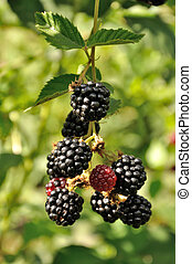 branch of blackberry - growing branch of ripe blackberry in...