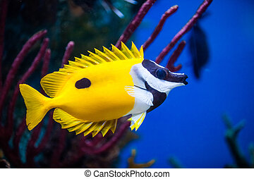 Onespot Foxface Rabbitfish Closeup in an Saltwater Aquarium...