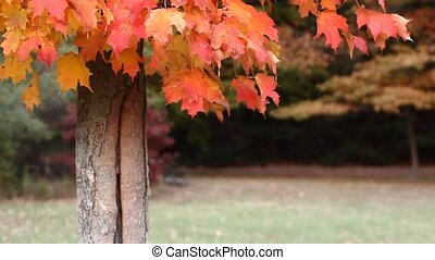 Autumn Maple Tree in Michigan.