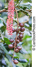 macadamia nuts hanging on tree