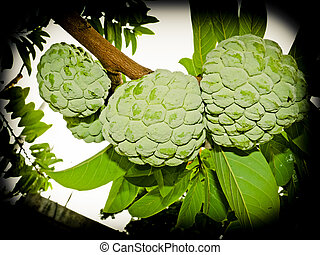 Custard Apple, Annona squamosa