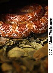 Corn snake on dry leaves