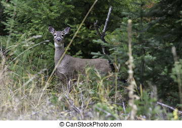 Side vie of deer. - A white tail deer close to the woods is...