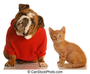 cute dog and kitten - english bulldog wearing red sweater...