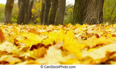 Autumn Wind - Close-up of golden fallen leaves trembling in...
