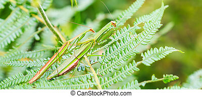 green praying mantis Mantis religiosa are mating on leaves...