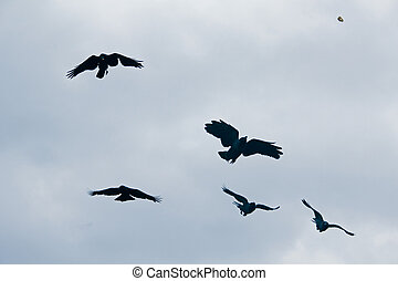 House crows, Corvus Splendens are in Flight, Pune,...