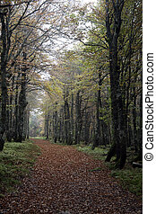 Hornbeam, Carpinus betulus, woodland in France ...