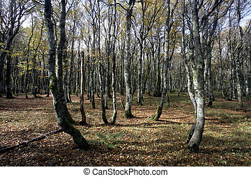 Hornbeam, Carpinus betulus, woodland in France