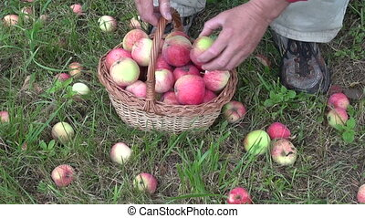 gardener harvesting fresh apples