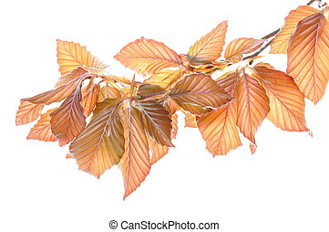 Young beech twig isolated on white background