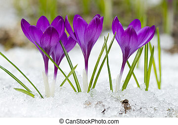 Beautiful  crocuses  - Beautiful violet crocuses in the snow