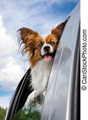 Papillon dog traveling in the car - Dog poking his head out...