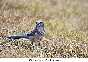Florida scrub jay forages for food in the rapidly disappearing scrub environment of Central Florida. These birds are found only in a few places in Florida and their habitat is dwindling.
