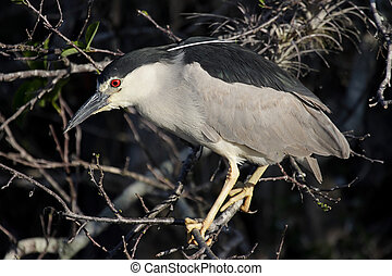 Black-crowned Night-Heron (Nycticorax) in the Florida...