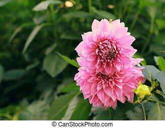 Beautiful pink peony on green leaves background