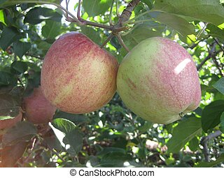 Apples 2 - A pair of apples haning from a tree
