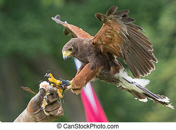 Harris hawk landing on handlers glove