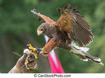 Harris hawk landing on handlers glove