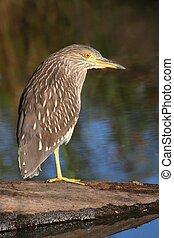 Black-crowned Night-Heron - Juvenile Black-crowned...