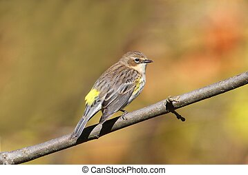 Yellow-rumped Warbler Dendroica coronata perched in a tree