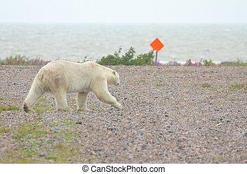 Polar Bear on the airfield